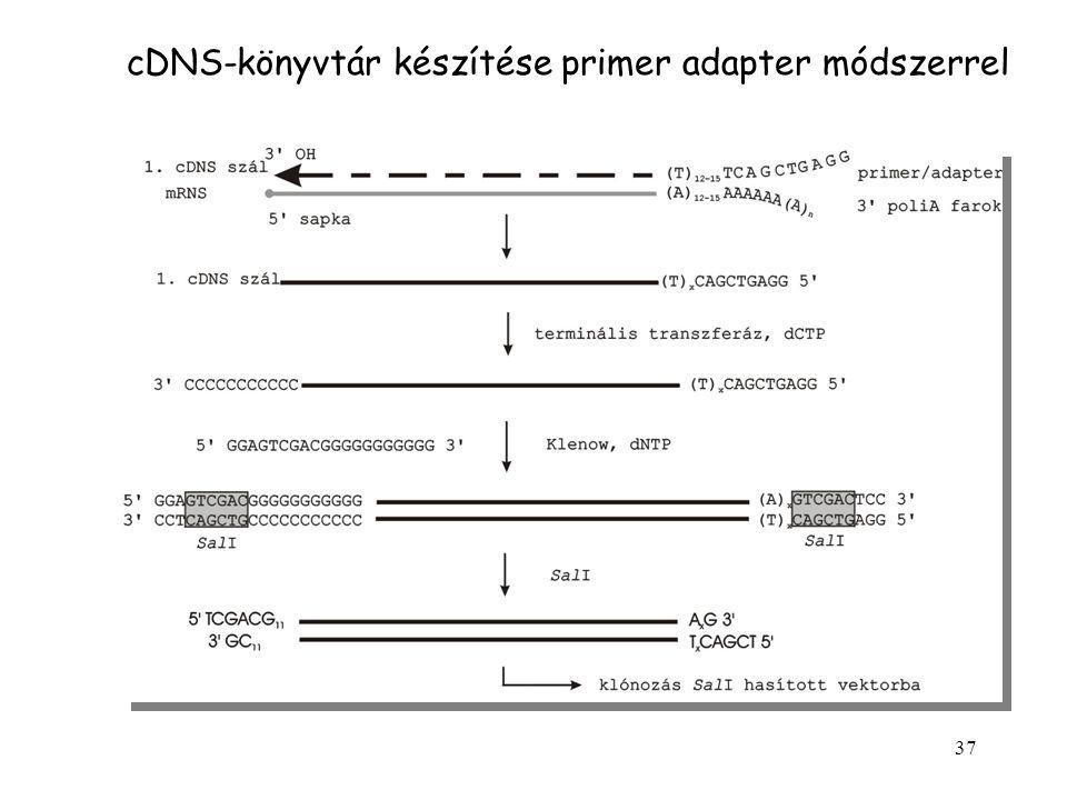 cDNS-könyvtár készítése primer adapter módszerrel