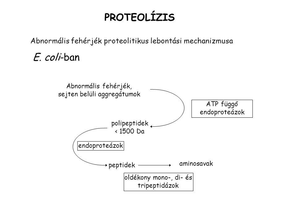 PROTEOLÍZIS E. coli-ban