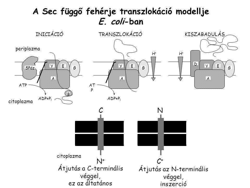 A Sec függő fehérje transzlokáció modellje