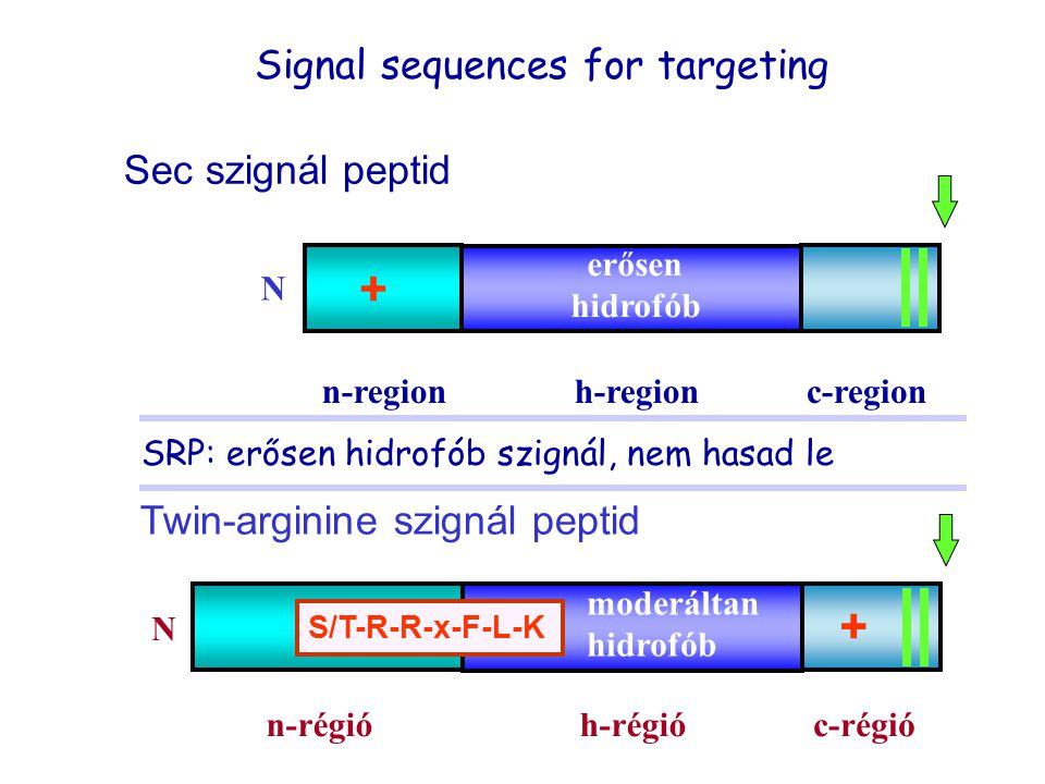 + + Signal sequences for targeting Sec szignál peptid