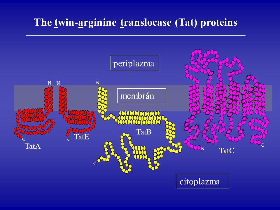 The twin-arginine translocase (Tat) proteins