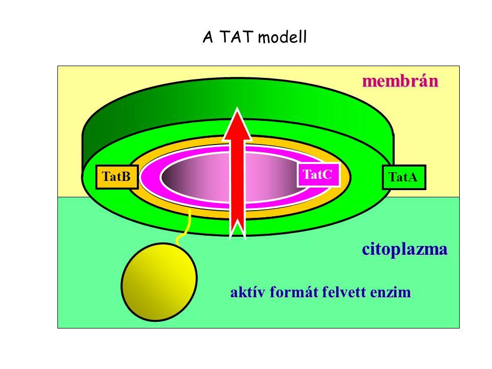 aktív formát felvett enzim