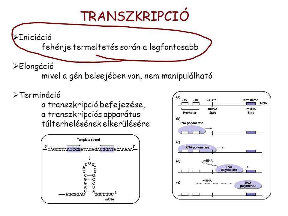 TRANSZKRIPCIÓ Iniciáció fehérje termeltetés során a legfontosabb