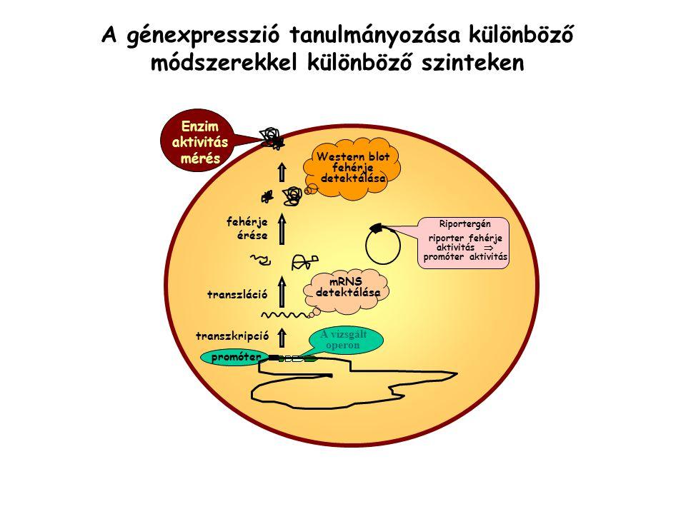 riporter fehérje aktivitás  Western blot fehérje detektálása