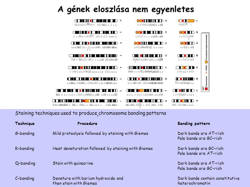 A gének eloszlása nem egyenletes