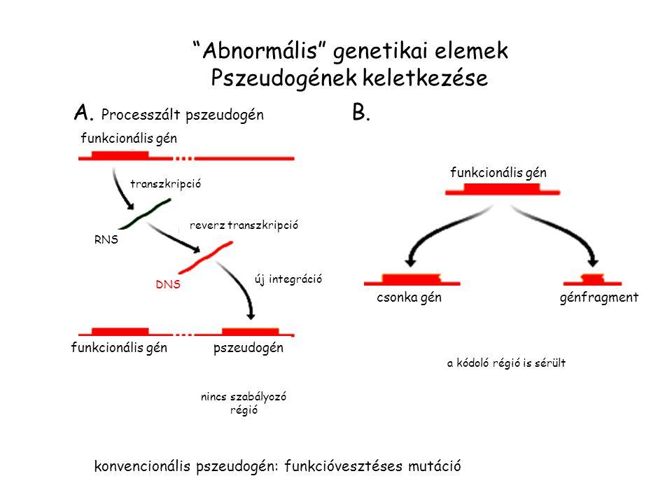 Abnormális genetikai elemek Pszeudogének keletkezése