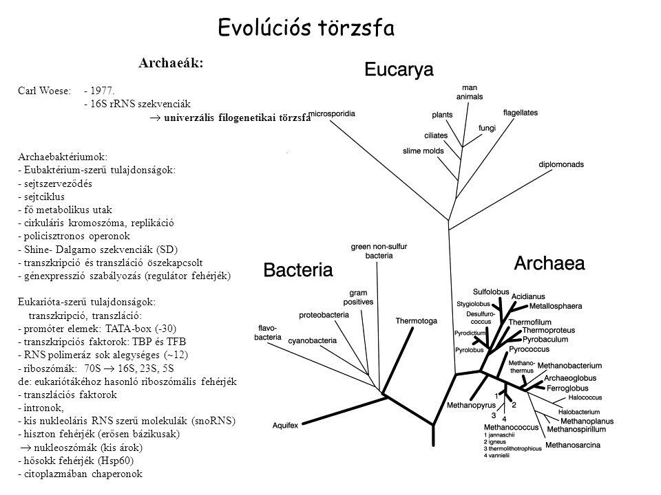 Evolúciós törzsfa Archaeák: Carl Woese: - 1977. - 16S rRNS szekvenciák