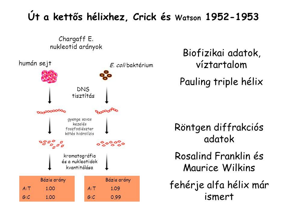Út a kettős hélixhez, Crick és Watson 1952-1953