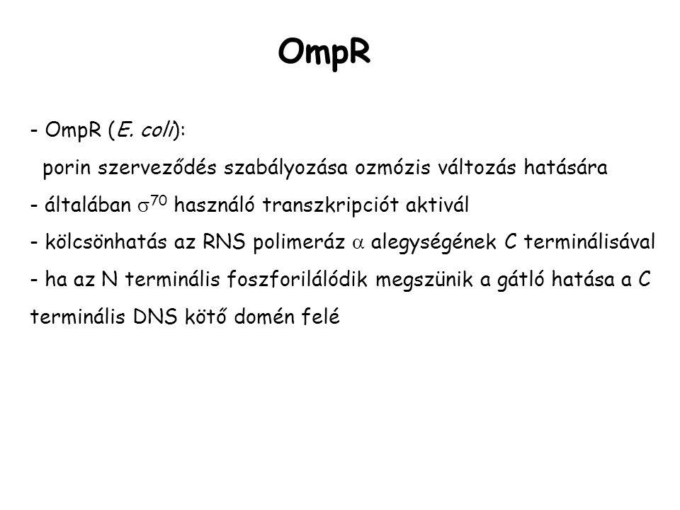 OmpR - OmpR (E. coli): porin szerveződés szabályozása ozmózis változás hatására. - általában 70 használó transzkripciót aktivál.
