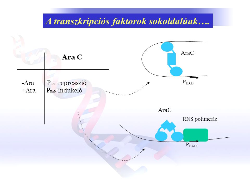 A transzkripciós faktorok sokoldalúak….