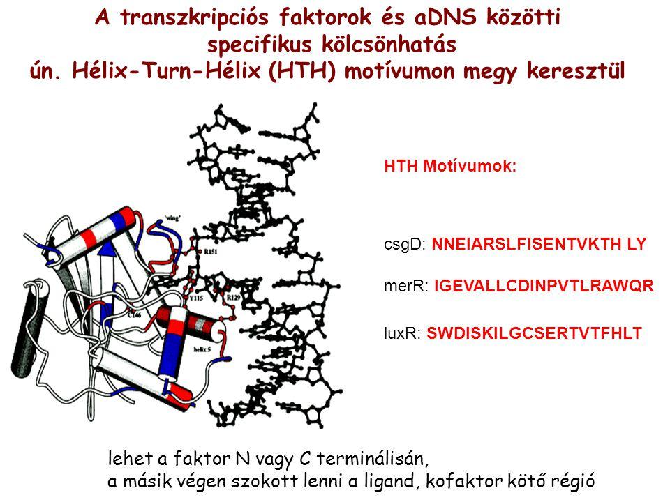A transzkripciós faktorok és aDNS közötti specifikus kölcsönhatás ún