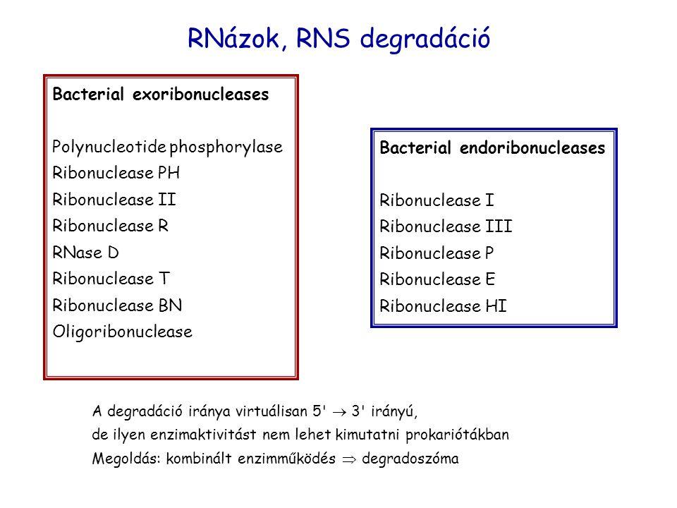 RNázok, RNS degradáció Bacterial exoribonucleases