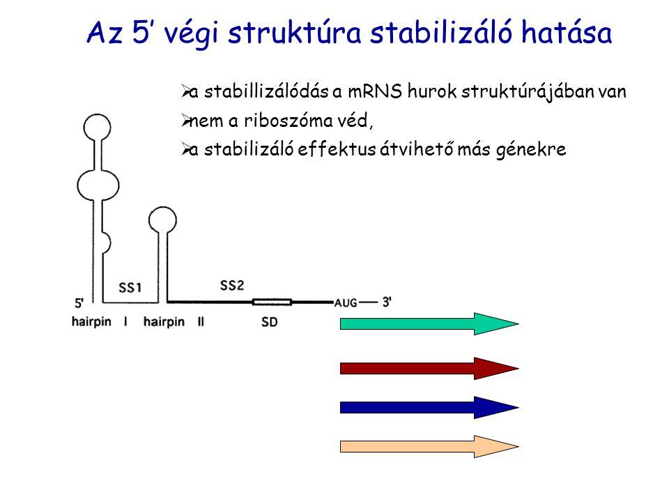 Az 5' végi struktúra stabilizáló hatása