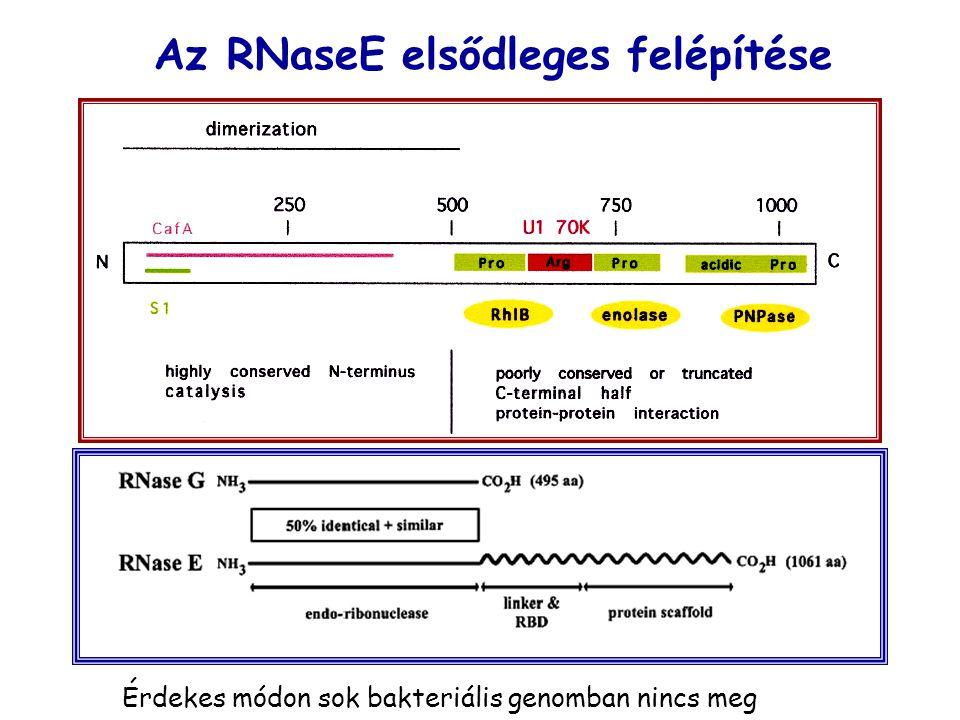 Az RNaseE elsődleges felépítése