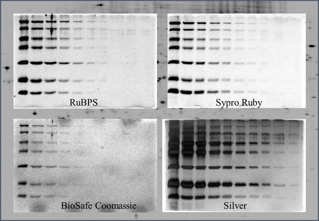 RuBPS Sypro Ruby BioSafe Coomassie Silver