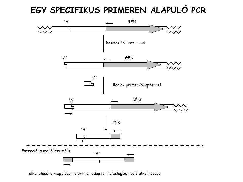 EGY SPECIFIKUS PRIMEREN ALAPULÓ PCR
