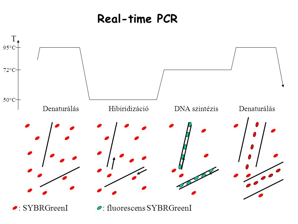 Real-time PCR T : SYBRGreenI : fluorescens SYBRGreenI Denaturálás