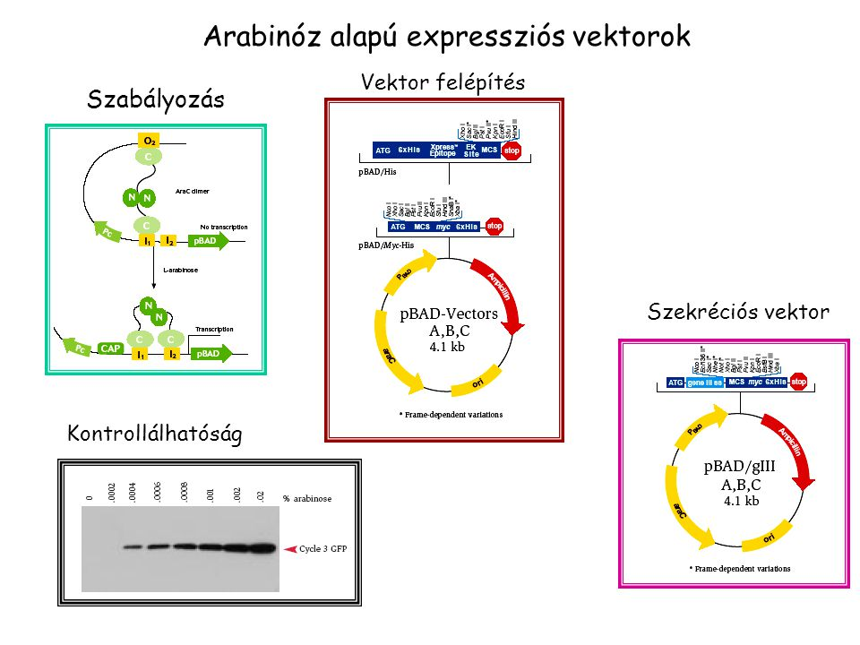 Arabinóz alapú expressziós vektorok