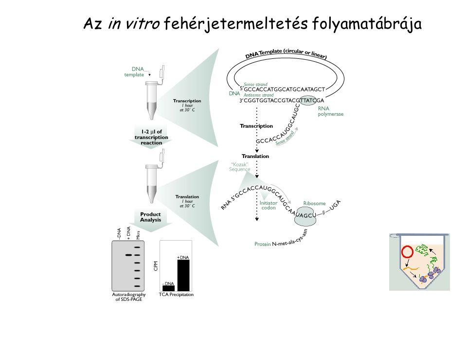 Az in vitro fehérjetermeltetés folyamatábrája