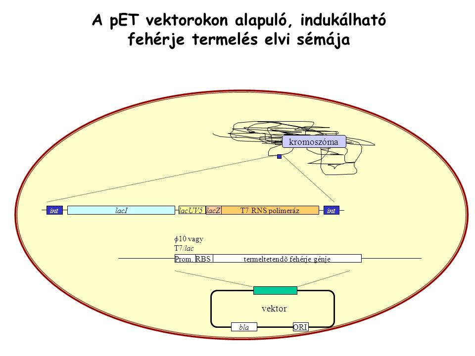 A pET vektorokon alapuló, indukálható fehérje termelés elvi sémája