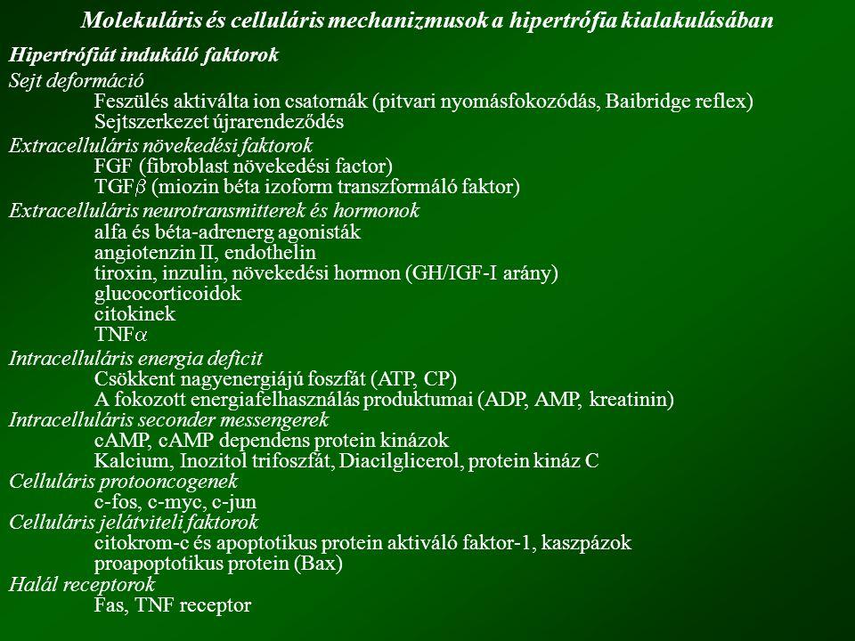 Molekuláris és celluláris mechanizmusok a hipertrófia kialakulásában