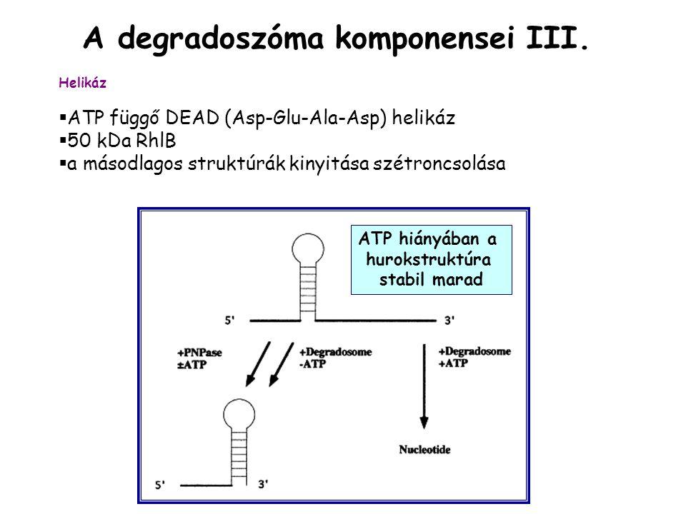 ATP hiányában a hurokstruktúra stabil marad