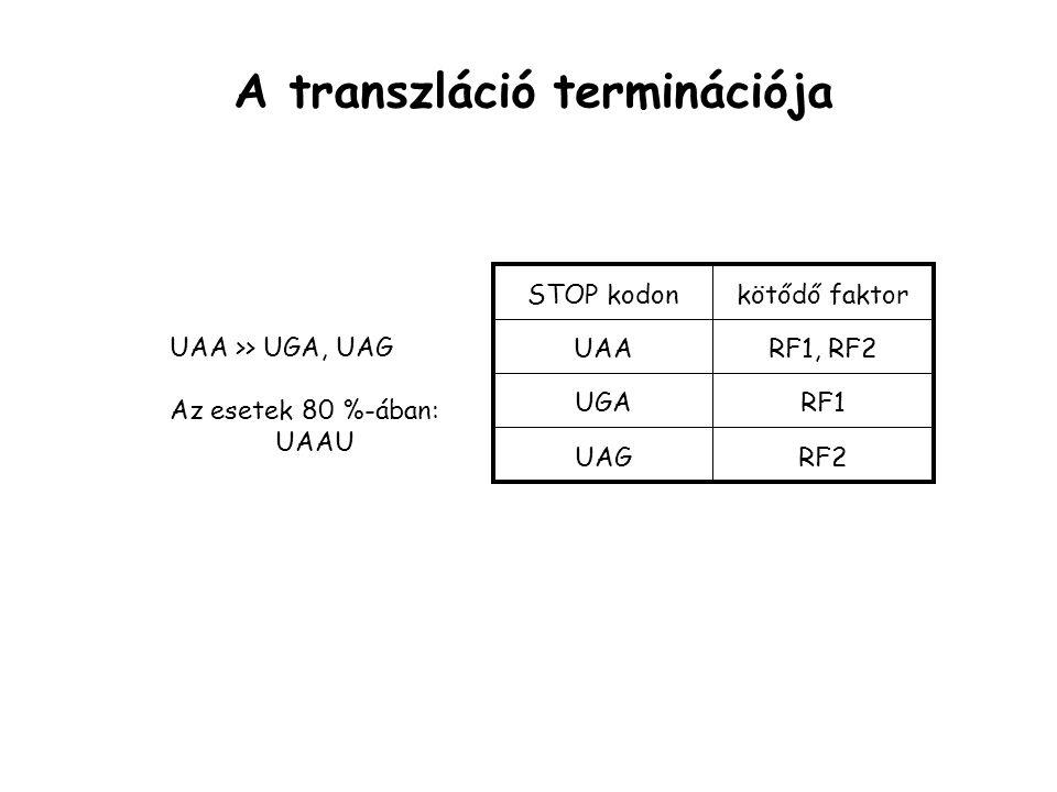 A transzláció terminációja