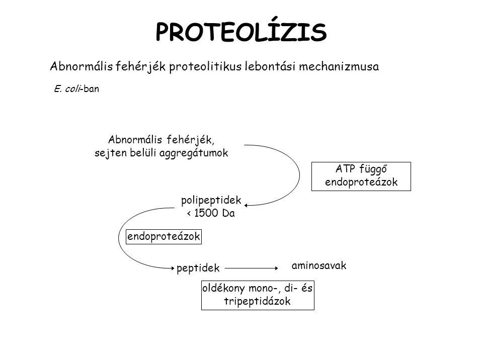 PROTEOLÍZIS Abnormális fehérjék proteolitikus lebontási mechanizmusa