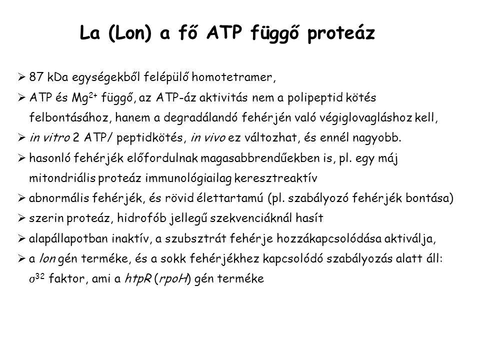 La (Lon) a fő ATP függő proteáz