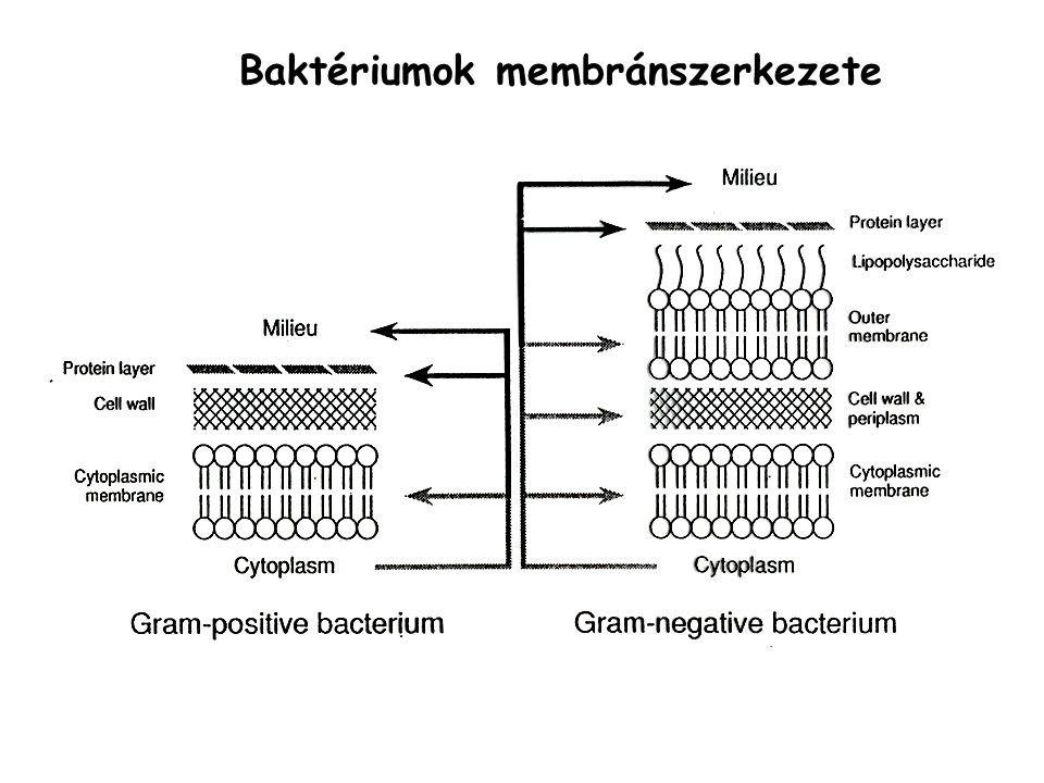 Baktériumok membránszerkezete