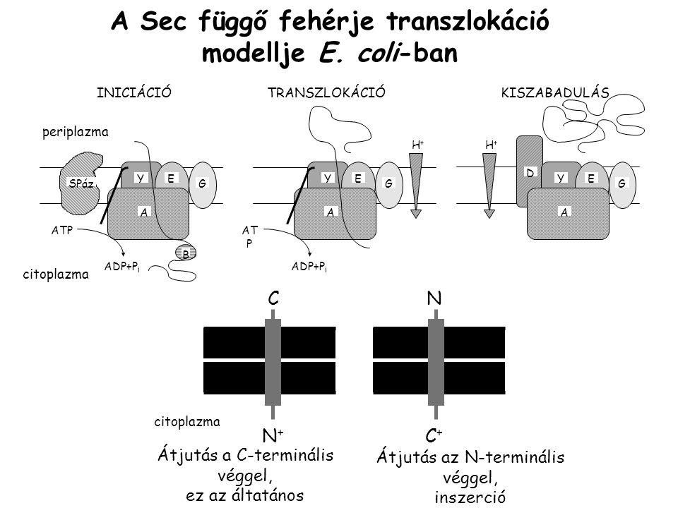 A Sec függő fehérje transzlokáció modellje E. coli-ban