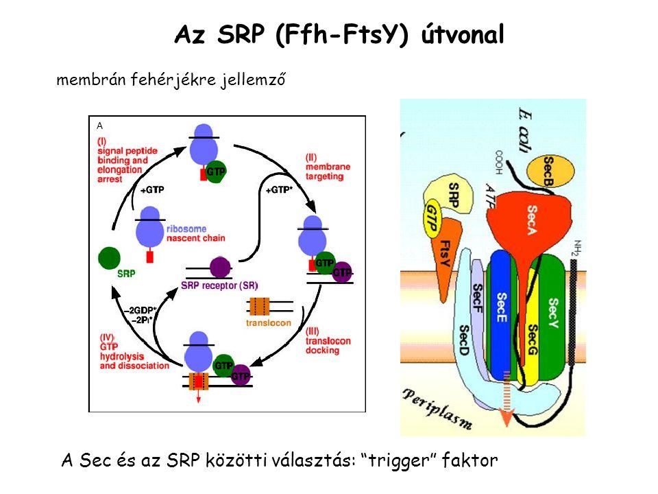 Az SRP (Ffh-FtsY) útvonal