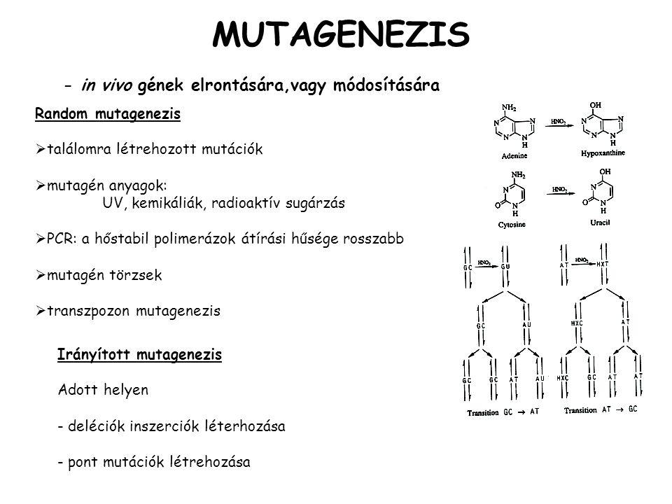 MUTAGENEZIS - in vivo gének elrontására,vagy módosítására
