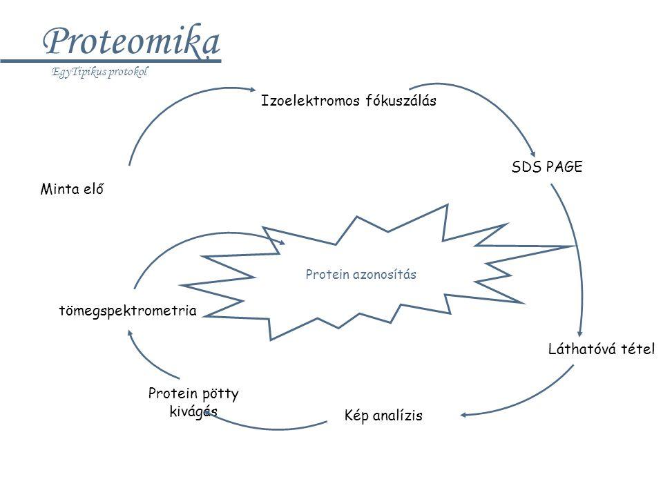 Proteomika Izoelektromos fókuszálás SDS PAGE Minta elő