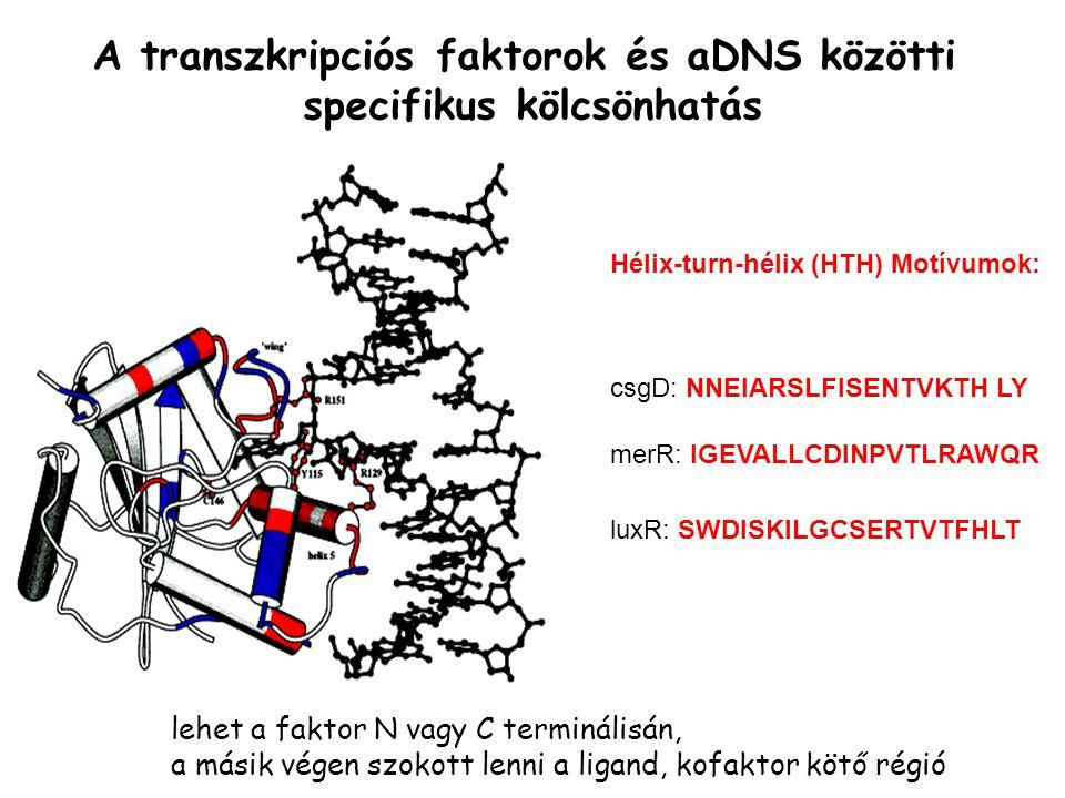 A transzkripciós faktorok és aDNS közötti specifikus kölcsönhatás