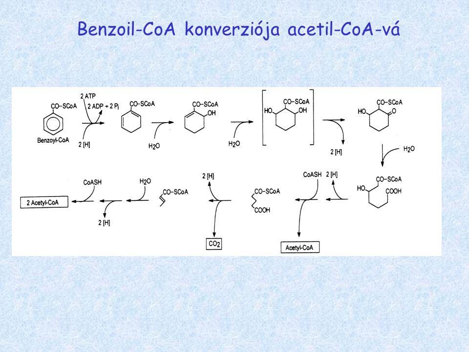 Benzoil-CoA konverziója acetil-CoA-vá