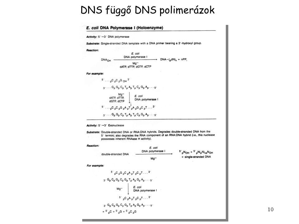 DNS függő DNS polimerázok