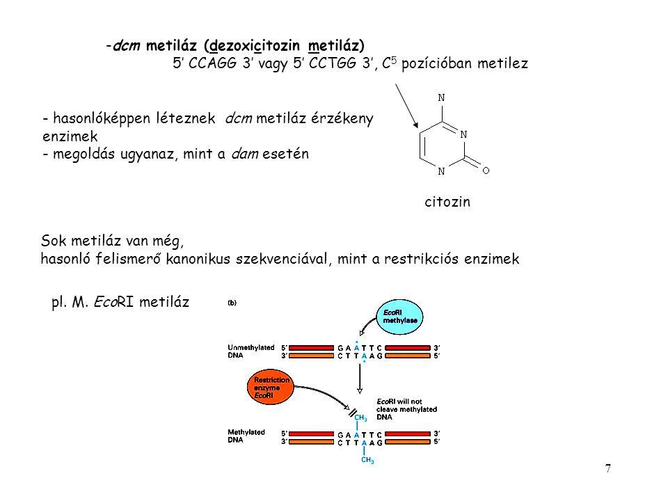 dcm metiláz (dezoxicitozin metiláz)