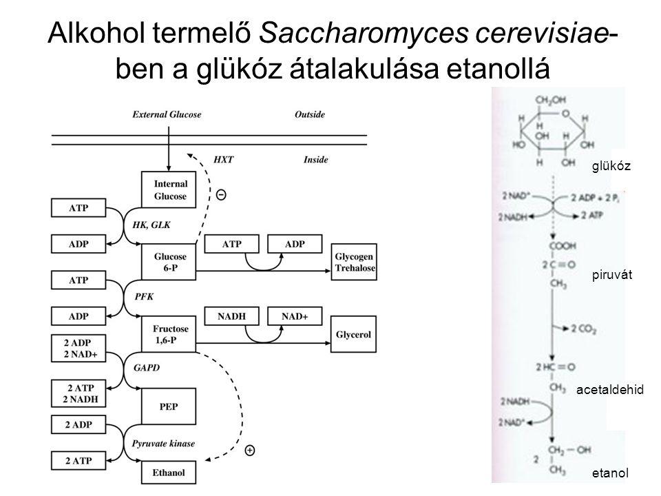 Alkohol termelő Saccharomyces cerevisiae-ben a glükóz átalakulása etanollá