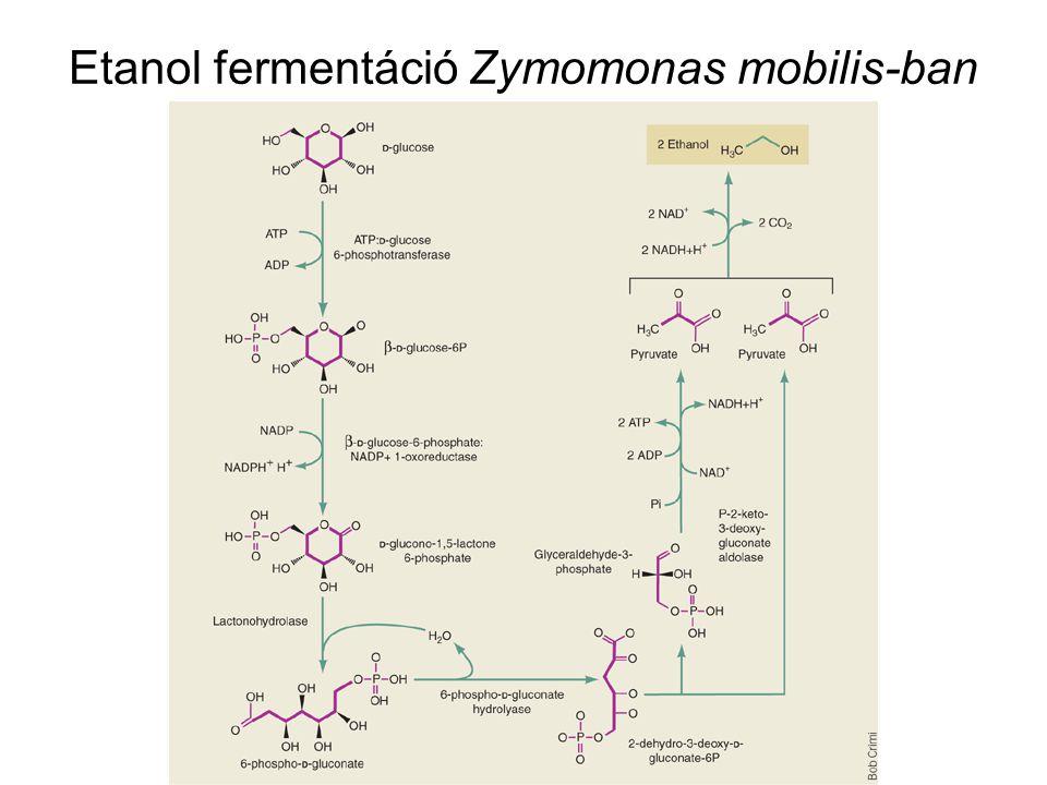 Etanol fermentáció Zymomonas mobilis-ban