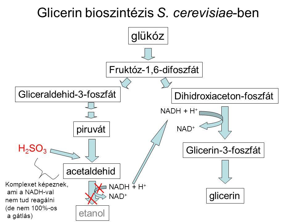 Glicerin bioszintézis S. cerevisiae-ben