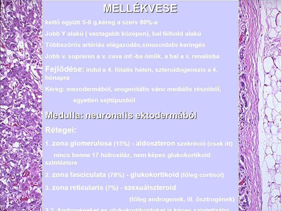 MELLÉKVESE Medulla: neuronalis ektodermából