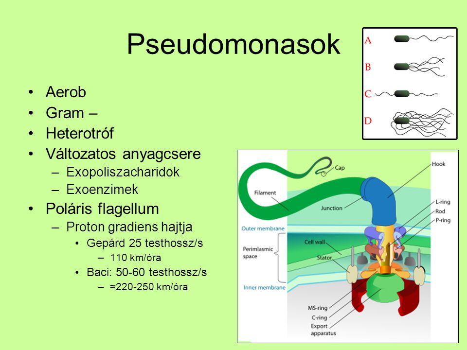 Pseudomonasok Aerob Gram – Heterotróf Változatos anyagcsere