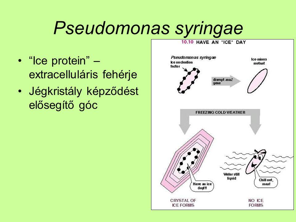 Pseudomonas syringae Ice protein – extracelluláris fehérje