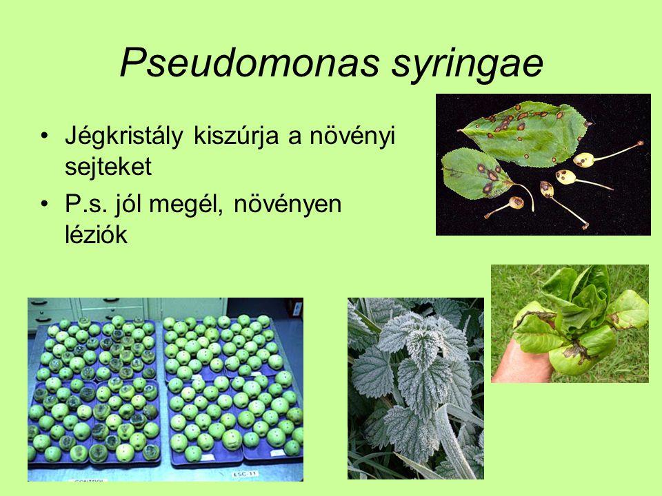 Pseudomonas syringae Jégkristály kiszúrja a növényi sejteket