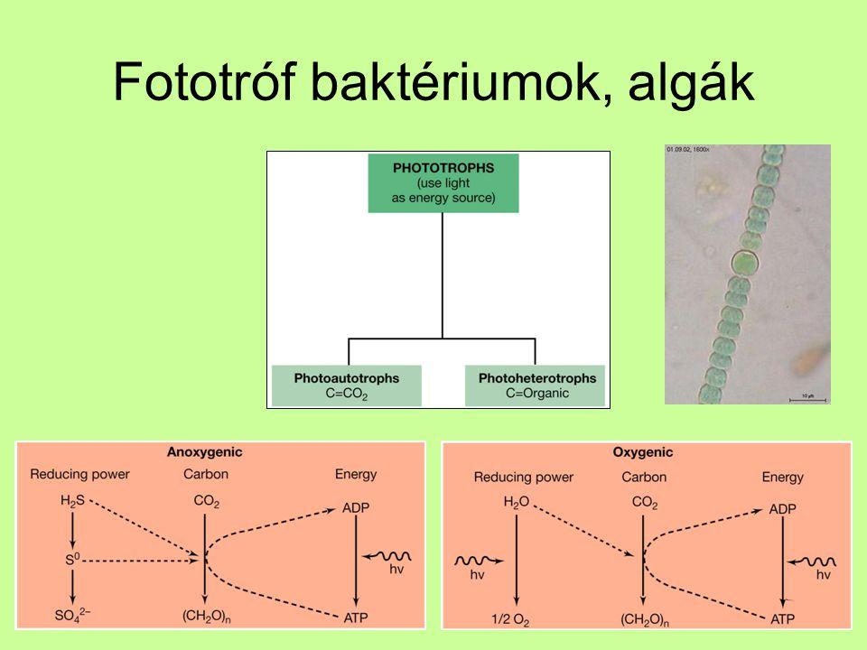 Fototróf baktériumok, algák