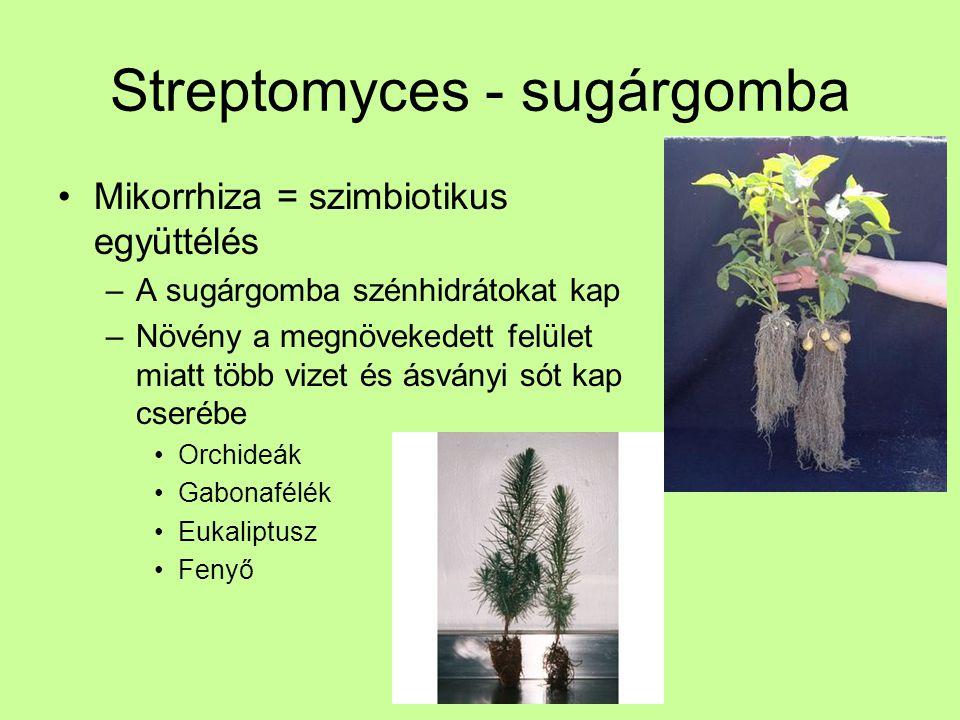Streptomyces - sugárgomba
