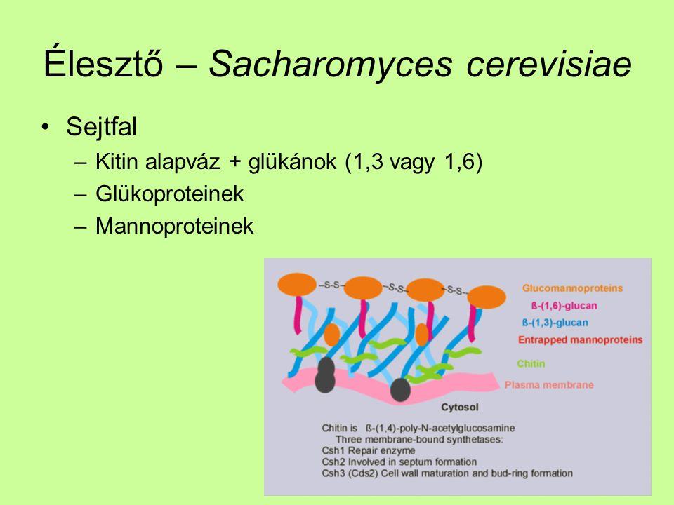 Élesztő – Sacharomyces cerevisiae