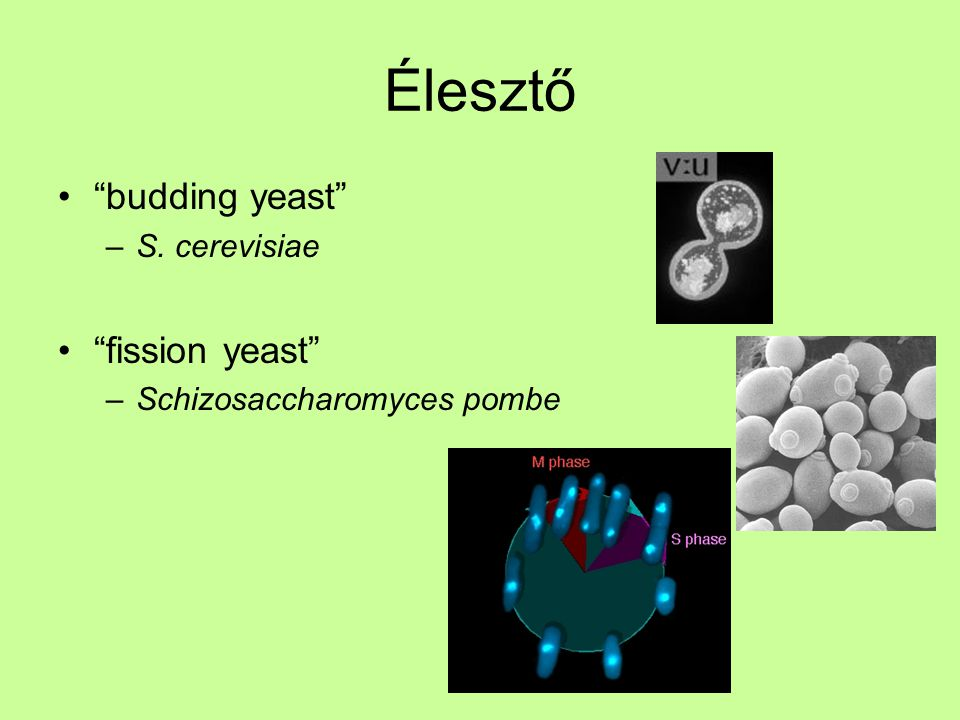 Élesztő budding yeast fission yeast S. cerevisiae
