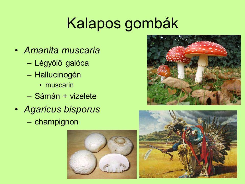 Kalapos gombák Amanita muscaria Agaricus bisporus Légyölő galóca